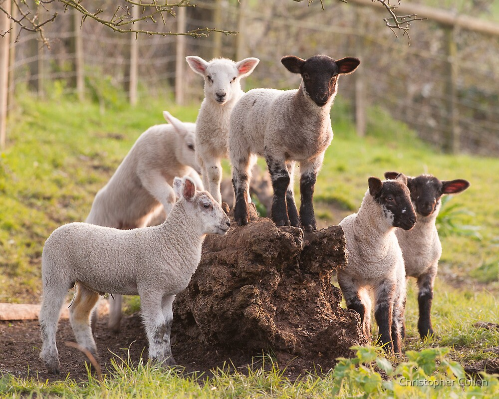Lambs playing by Christopher Cullen