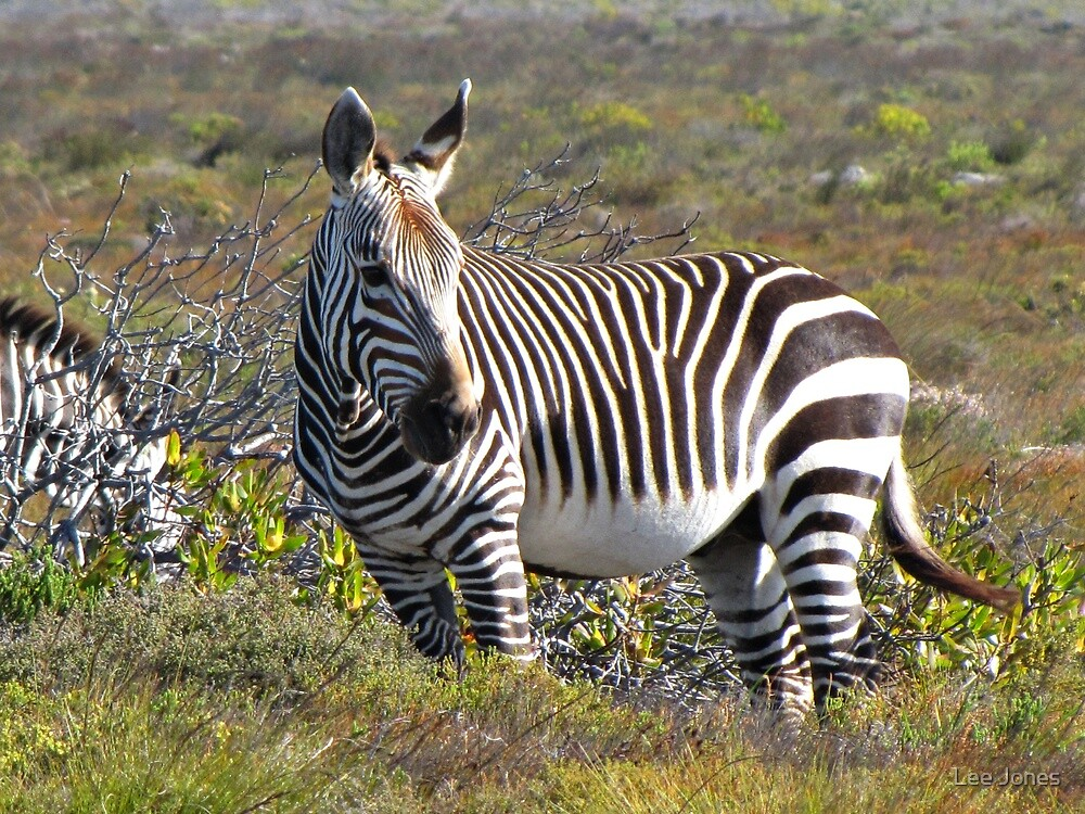 Cape Zebra at the Cape of Good Hope by Lee Jones