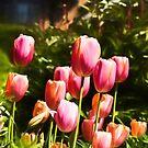 Tulip Graden by Jessica Manelis