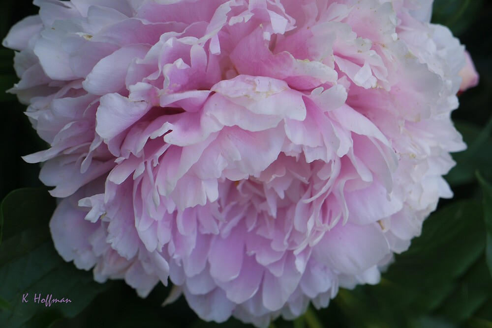 Petticoats in Pink by Kenneth Hoffman