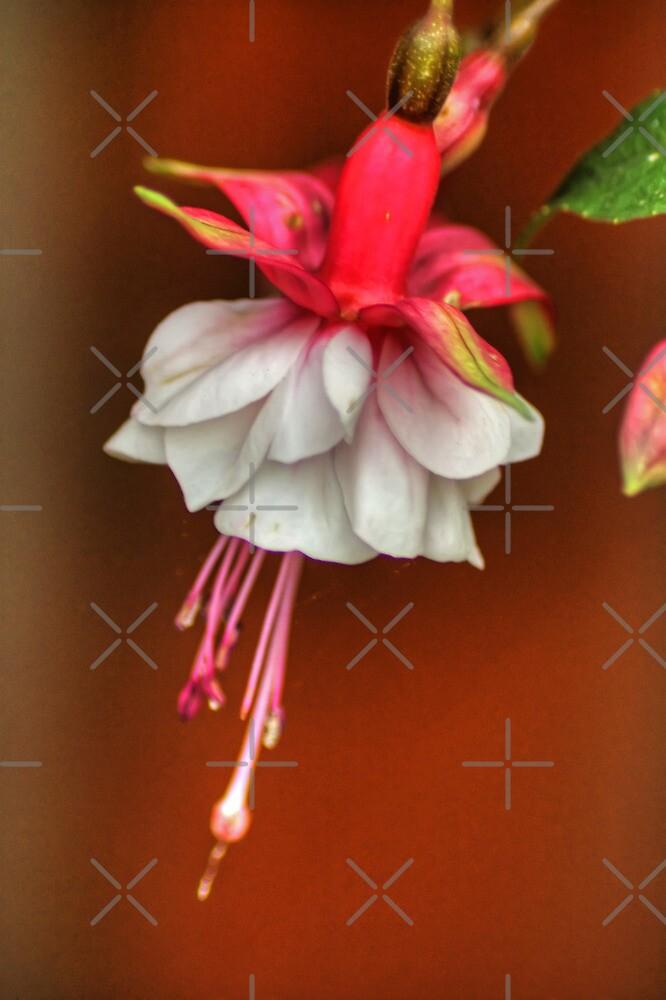 Fuchsia by Tom Gomez