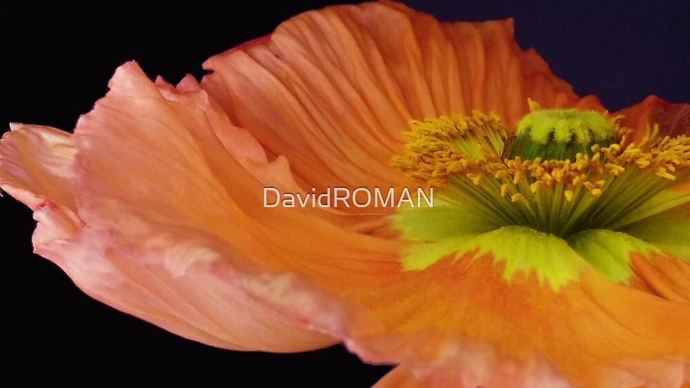 Orange Poppy close up by DavidROMAN