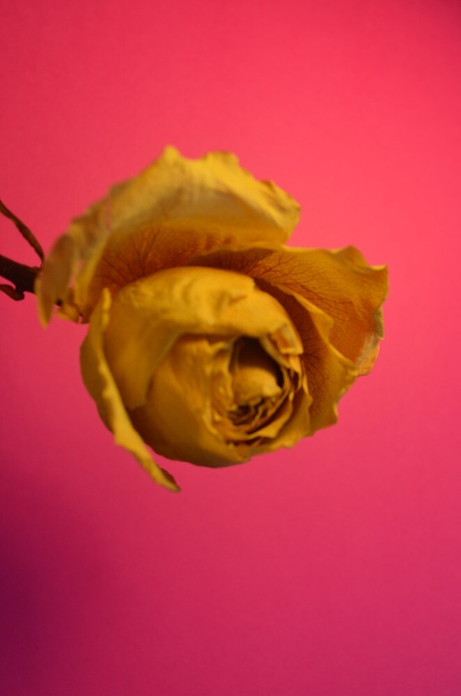 yellow rose by romeomikealpha1
