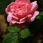 Pink Rose by Lee  Gill