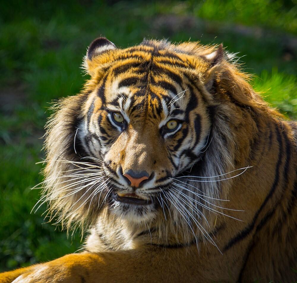 Sumatran Tiger by RandyHume