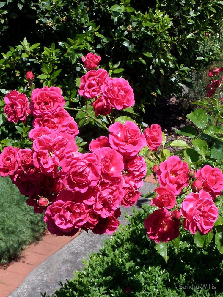 A group of roses by Sandra Willis