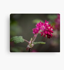 Red Currant Flowers Canvas Print