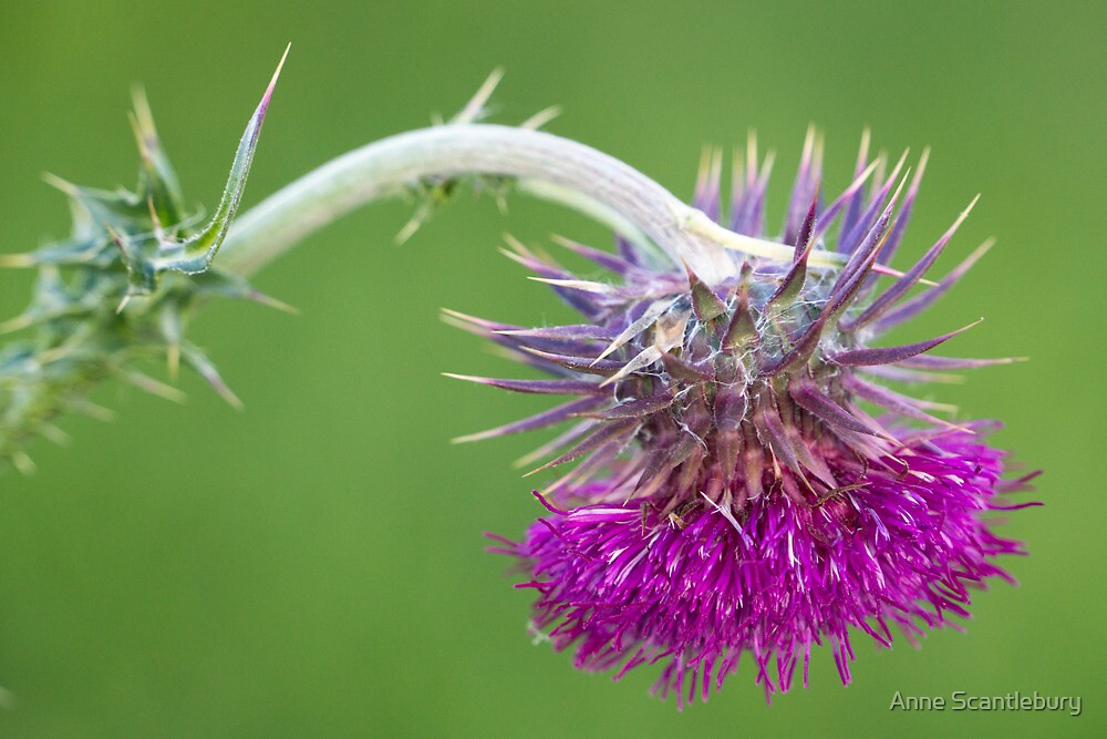 thistle by Anne Scantlebury