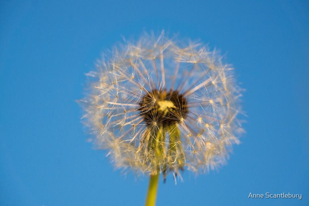 fluffy seedhead by Anne Scantlebury