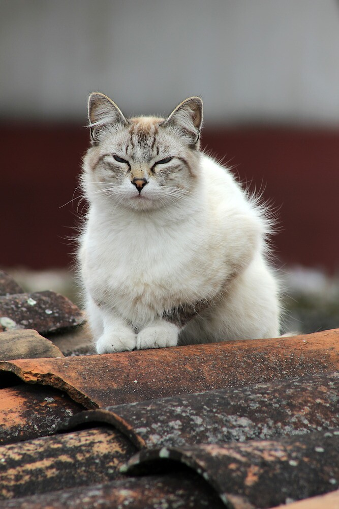 Cat on a Tile Roof by rhamm
