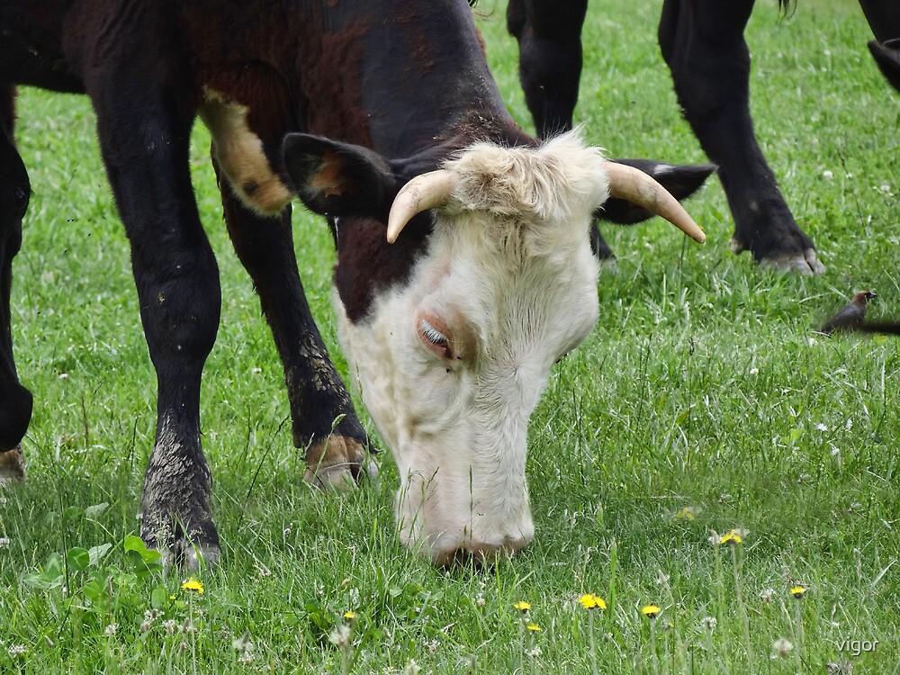 Moo Chew Cow by vigor