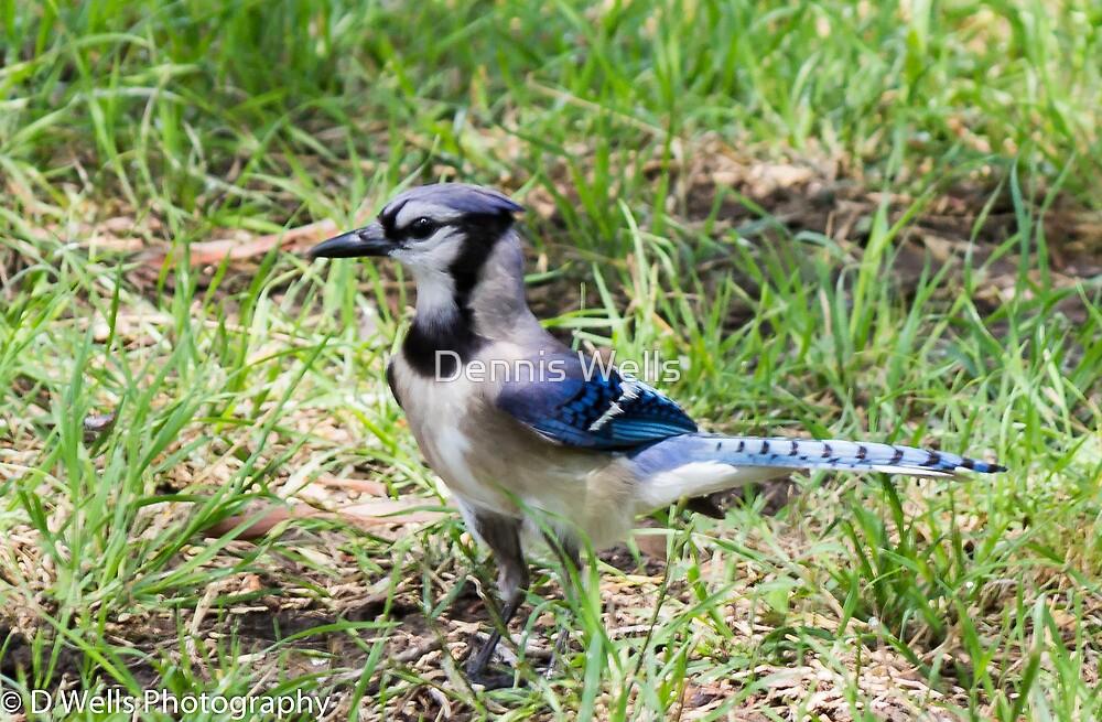 Blue Jay by Dennis Wells
