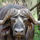 JUST STARING - THE BUFFALO - Syncerus caffer  by Magriet Meintjes