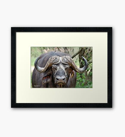 JUST STARING - THE BUFFALO - Syncerus caffer  Framed Print
