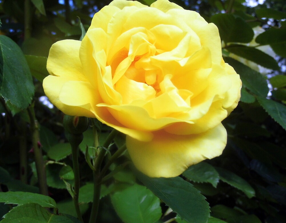 the perfect rose for a while by margaret hanks