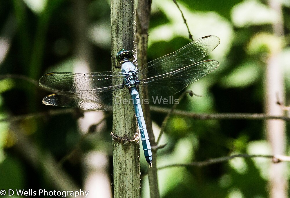 Blue dragonfly on a reed  by Dennis Wells