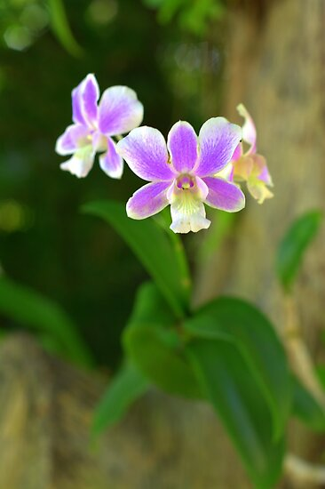 orchid. by Tinglis