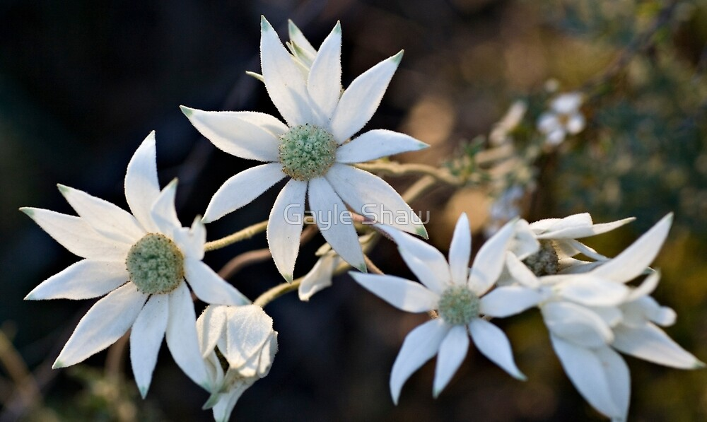 Wildflowers of the Blue Mountains - Sydney Flannel Flower by Gayle Shaw