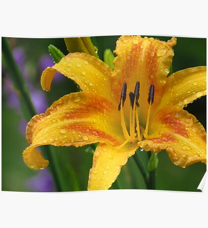 Lily in My Garden  Poster