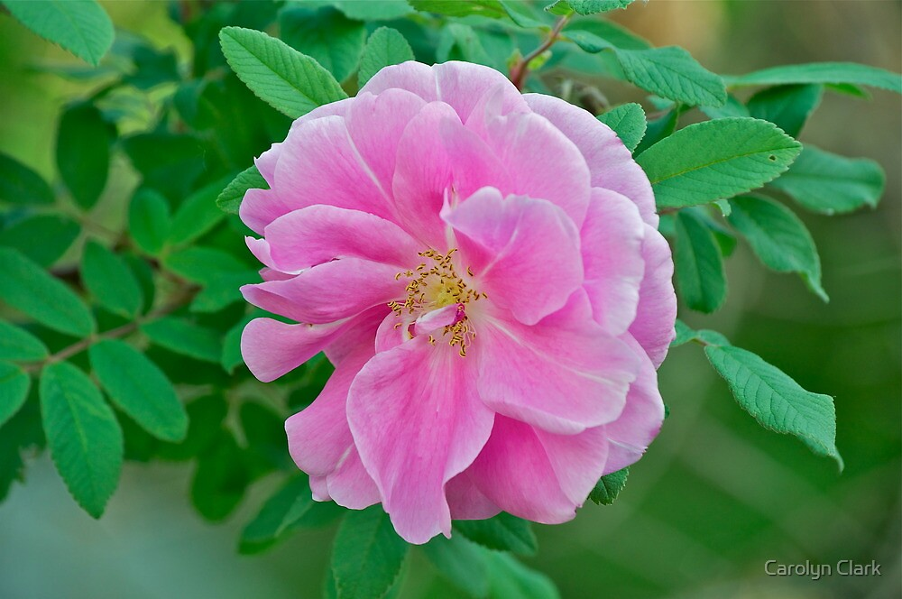 Pink Rose 2 by Carolyn Clark
