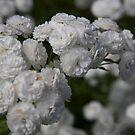White Rose 1 by Sheryl Marshall