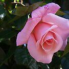 Pink Rose 3 by Sheryl Marshall