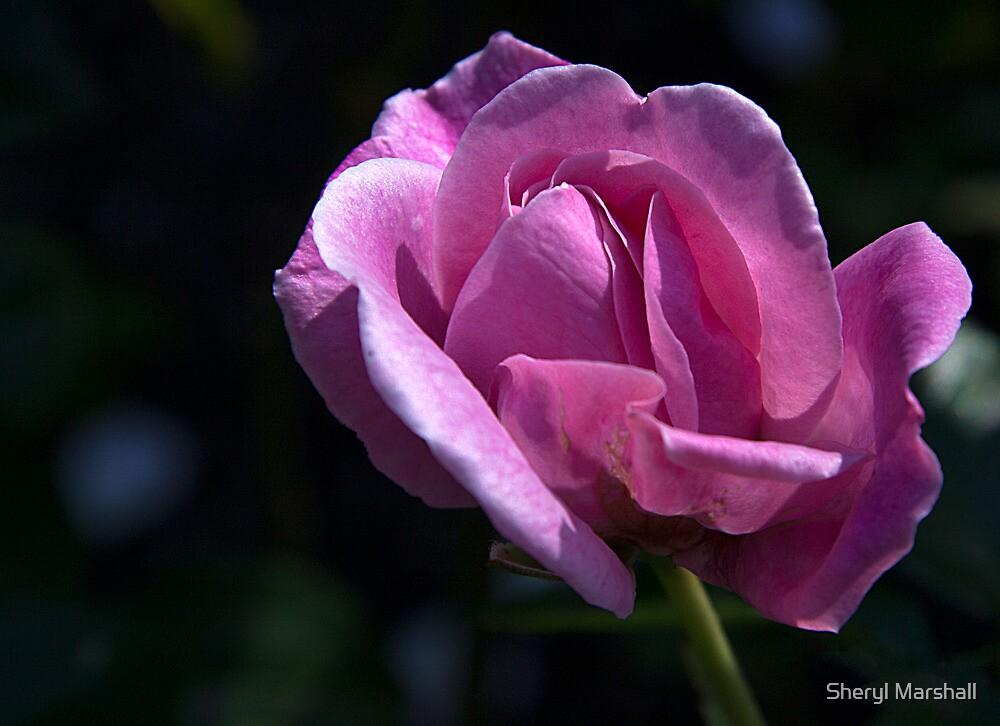 Pink Rose 4 by Sheryl Marshall