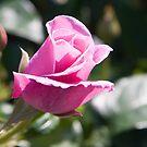 Pink Rose 5 by Sheryl Marshall