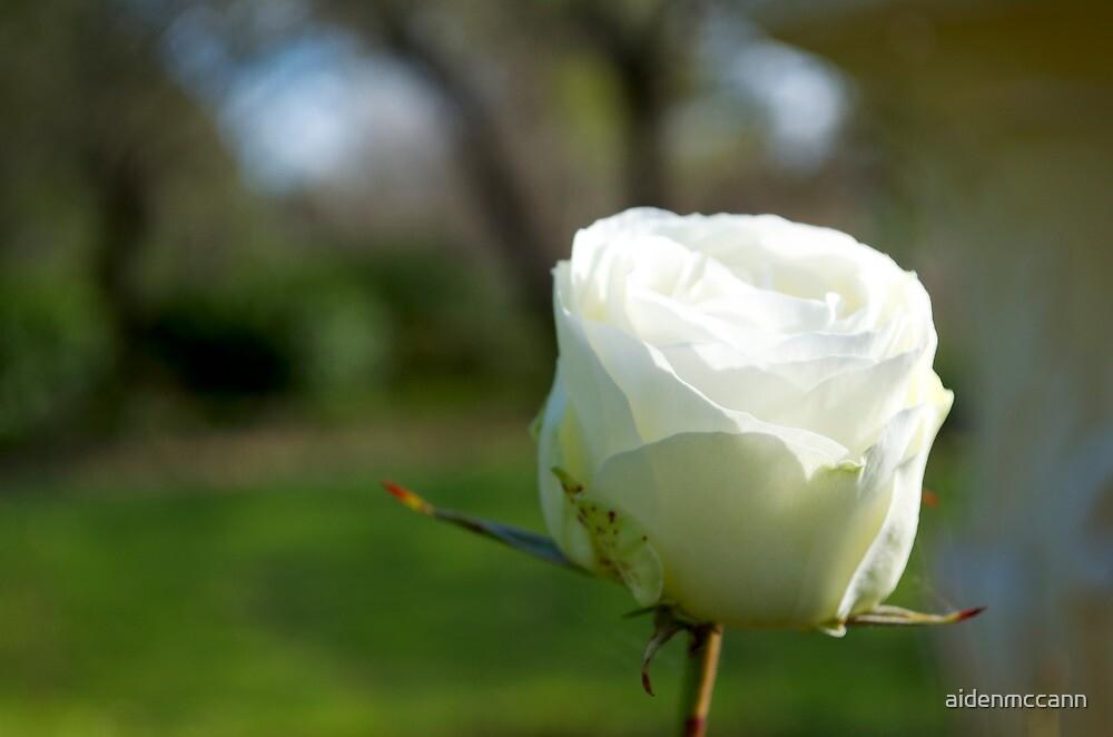 White Rose by aidenmccann