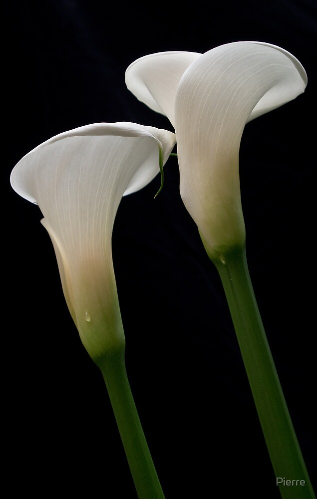 Lilies 02 by Pierre