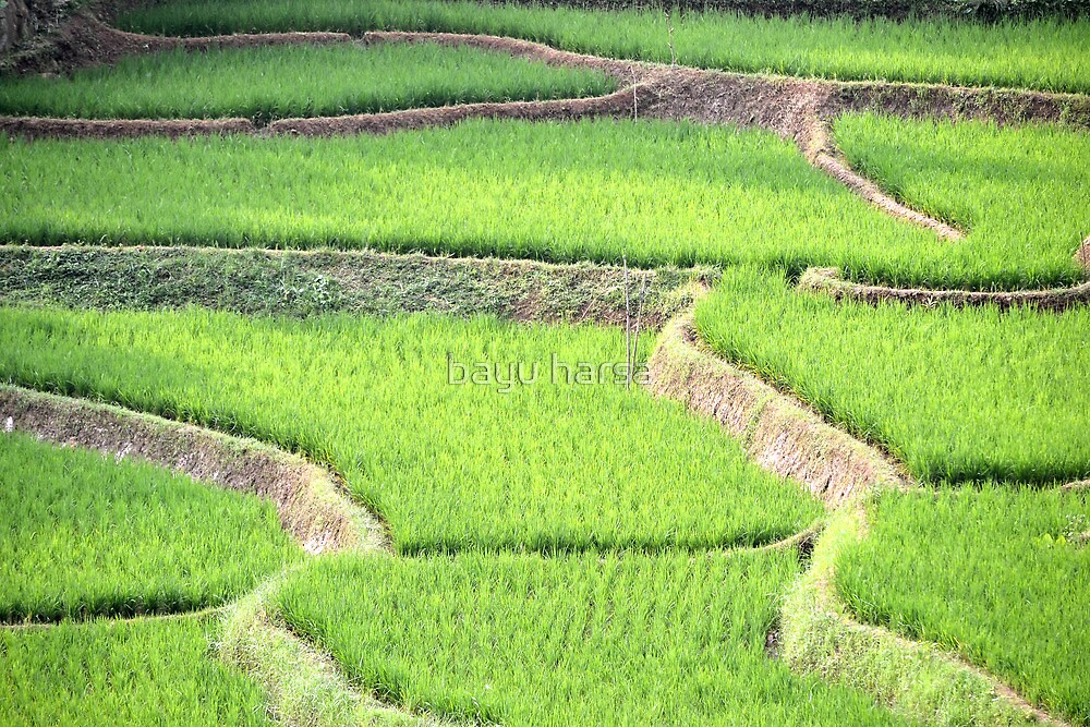 green ricefield by bayu harsa