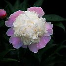 Peony by Penny Fawver