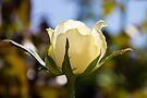 White Rose by ValeriesGallery