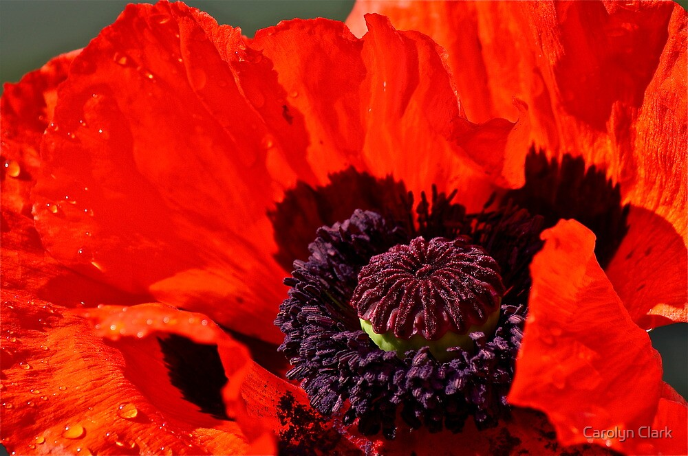 Poppy 1 by Carolyn Clark