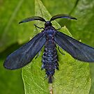 Western Grapeleaf Skeletonizer (Harrisina brillians) by Pandrot