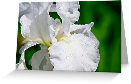White Iris 2 by Carolyn Clark