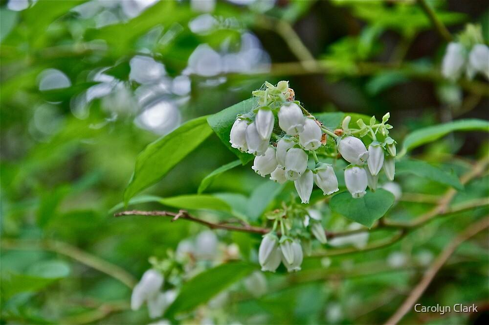 Blueberry blossom by Carolyn Clark