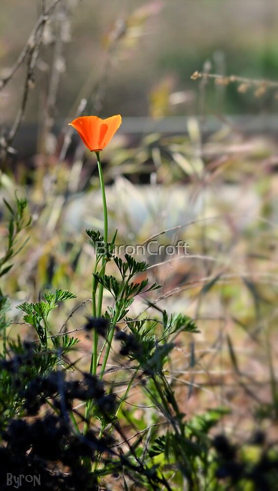 California Poppy by Byron Croft Photography by ByronCroft