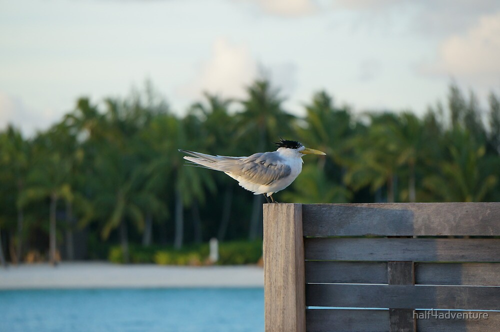 Crested Tern by half4adventure