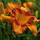Beautiful Daylily by Sandy Keeton