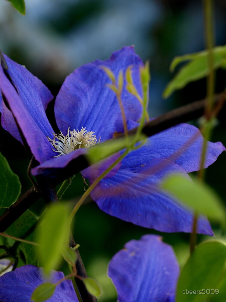 Spring's First Clematis Blossom by cbeers5009