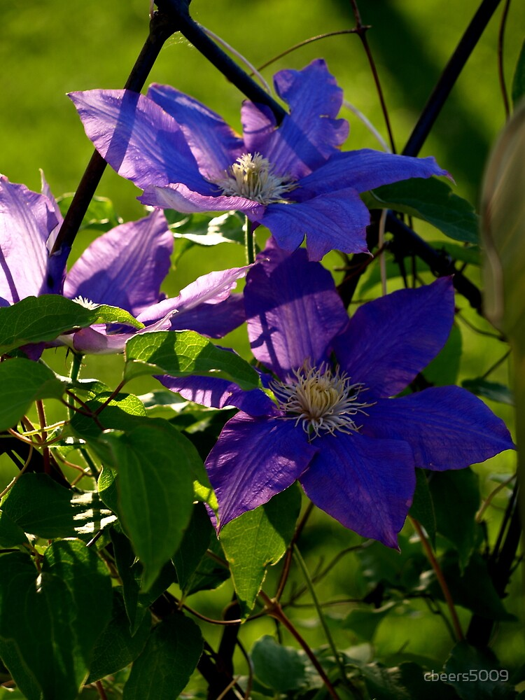 Clematis in all their Glory by cbeers5009