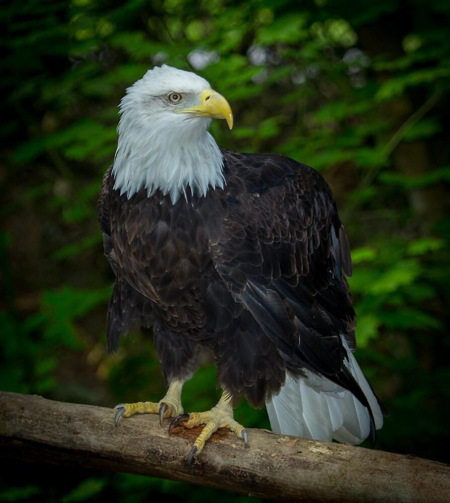 Bald Eagle by RandyHume