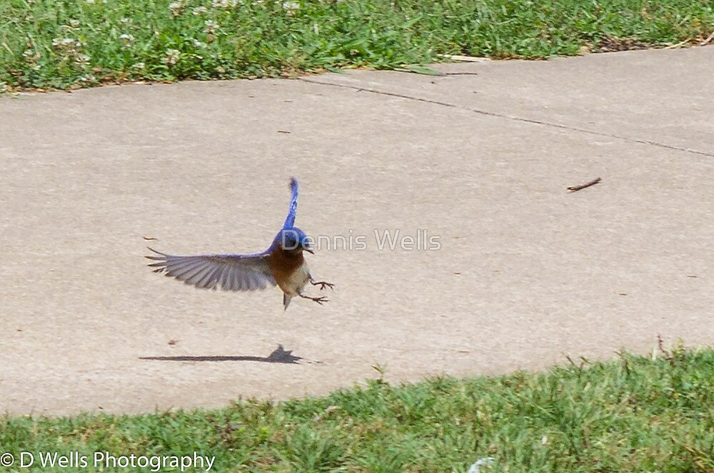 Blue Bird coming in for a landing by Dennis Wells