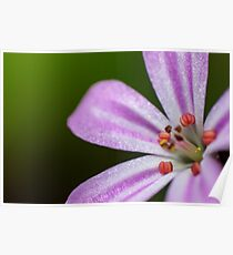 small pink flower Roberts herb Poster