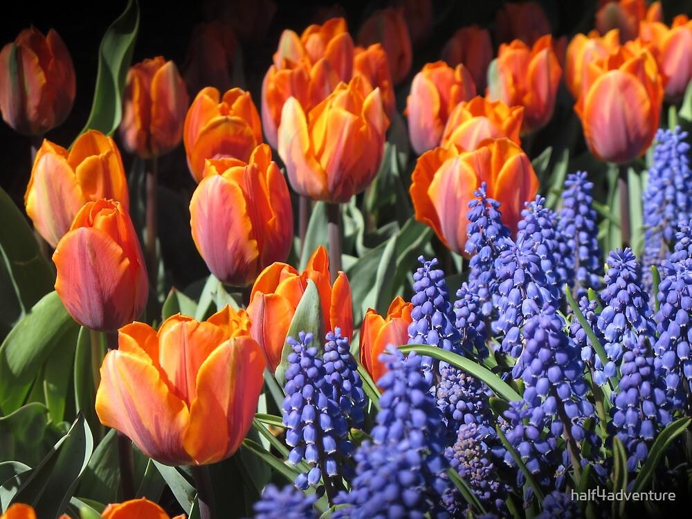 Fiery Tulips and Grape Hyacinths by half4adventure