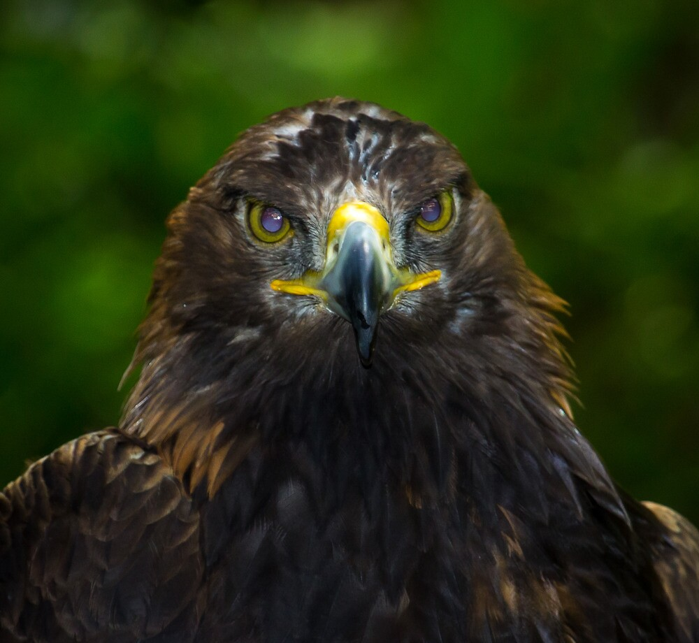 Golden Eagle by RandyHume