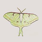 Luna Moth by moietymouse