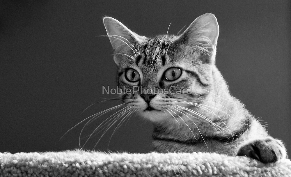 Curious Tabby Cat Gazes at Camera by NoblePhotosCard