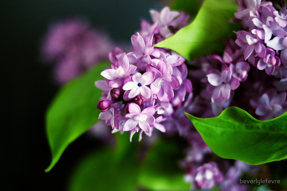 fresh lilacs by beverlylefevre